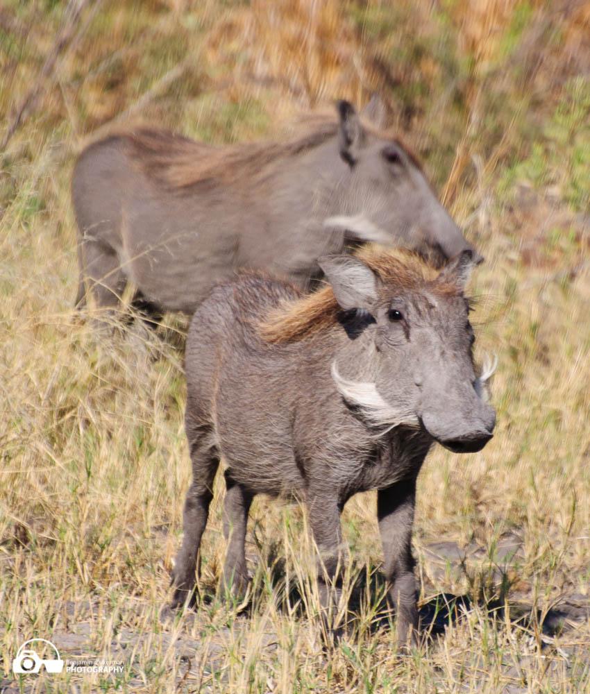 Young Boar in the Okavango Delta, Botswana