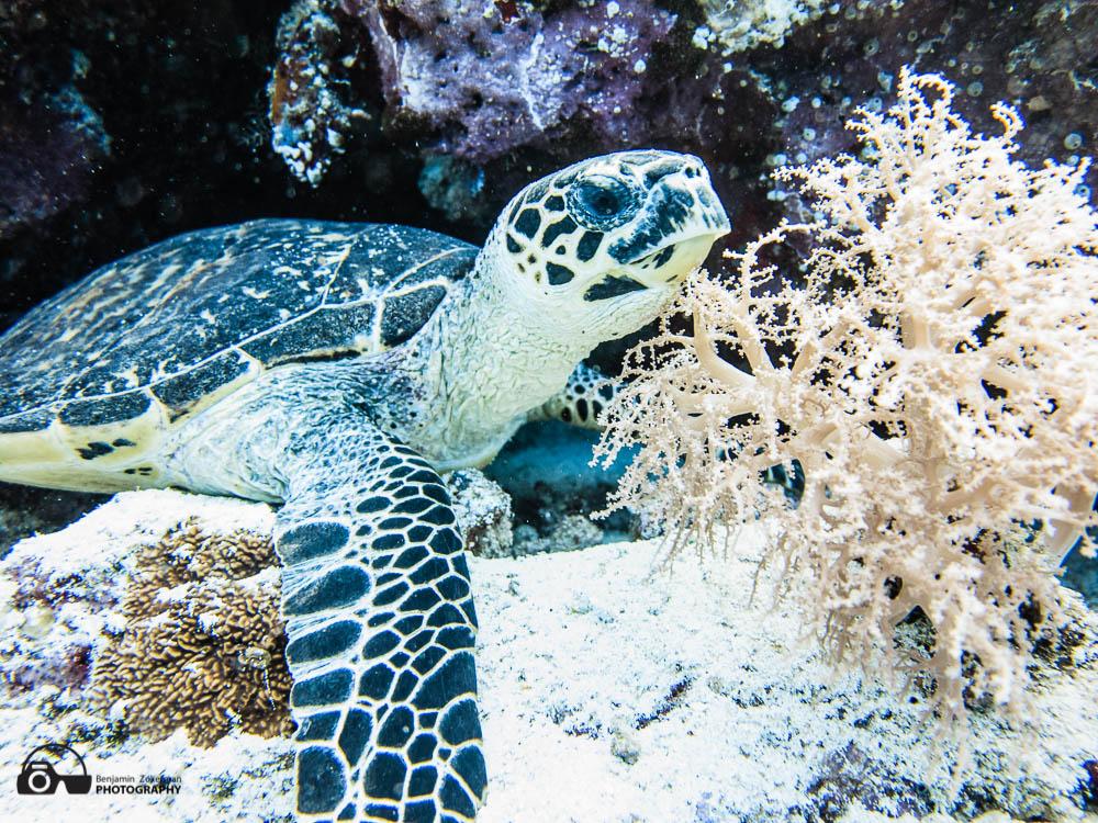 Turttle posing Tubbataha Reefs, Philippines