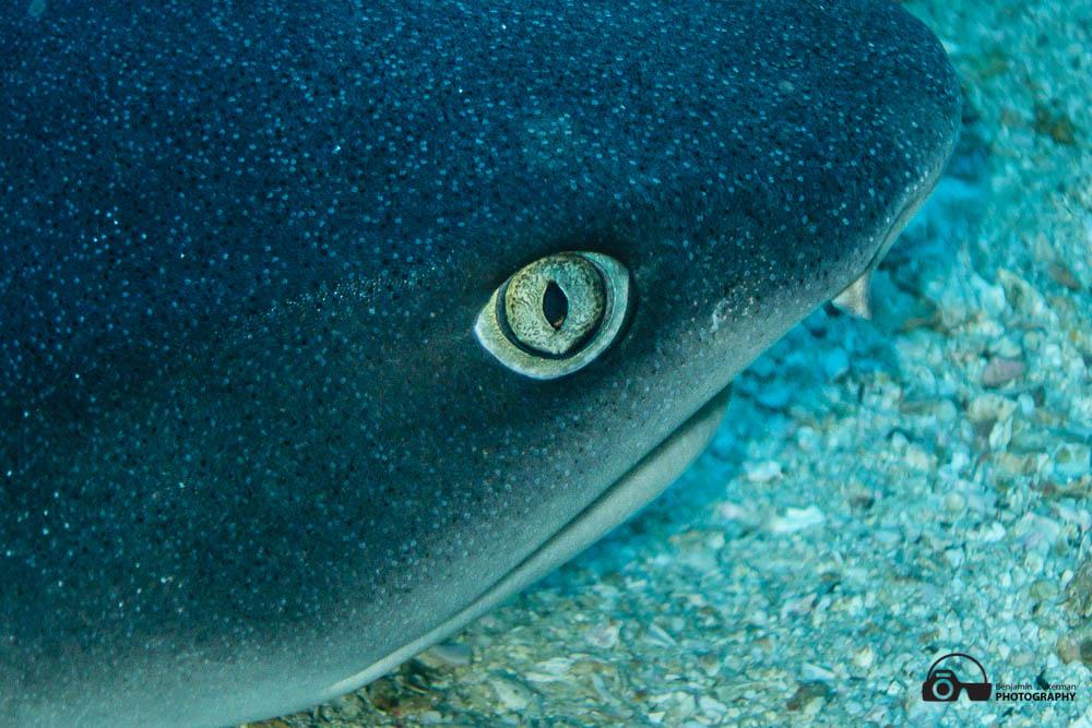 Eye of Whitetip Reef shark, Cocos Island Costa Rica