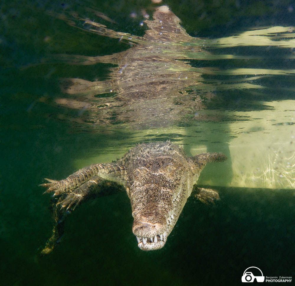 Crocodile swimming towards me, Jardines de la Reina Cuba