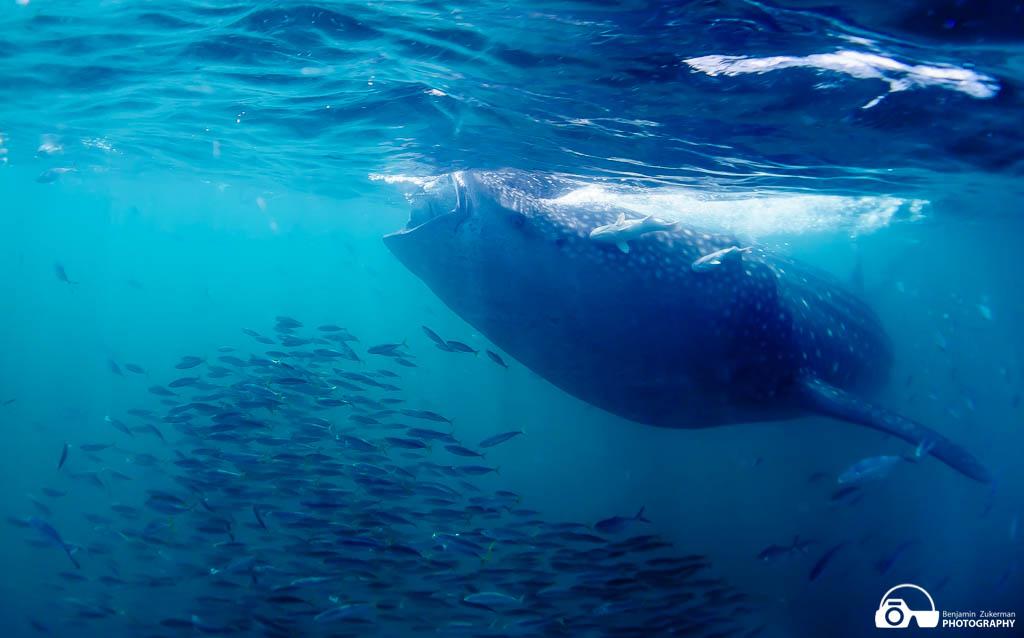 Whale shark Cancun, Mexico